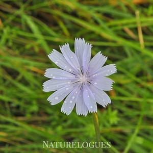 Summer Chicory