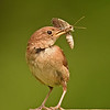 House Wren with Prey