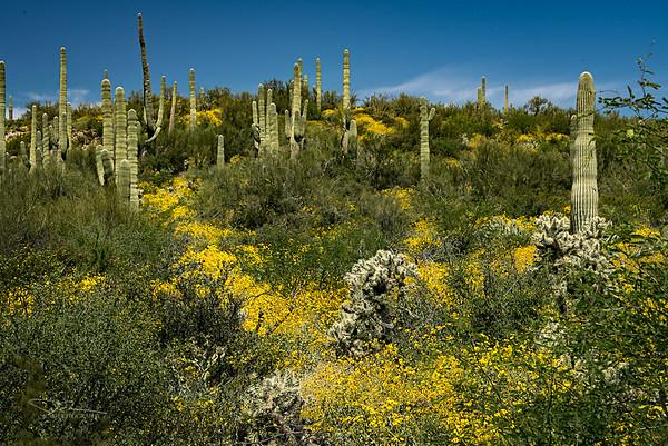 Desert Bloom north of Phoenix, AZ
