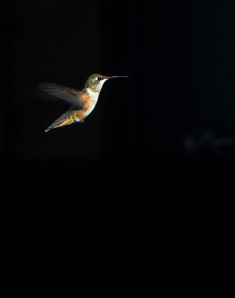 Rufous Hummingbird (Photo #7148)