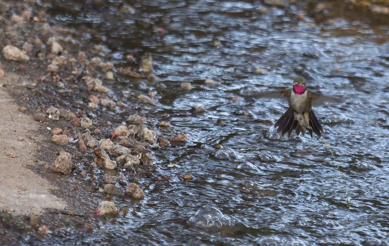 HummingbirdHoversAboveWater (Photo #P5032639)
