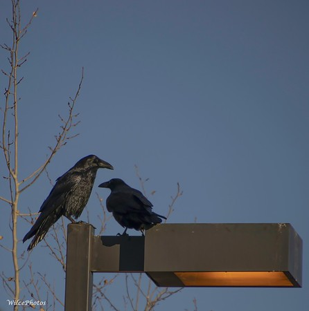 Ravens On Lightpost (Photo #5901)