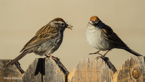 Chipping Sparrow Pair