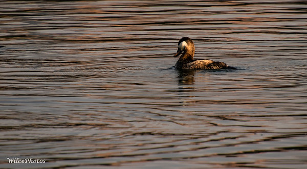 Ruddy Duck (Photo #2644)