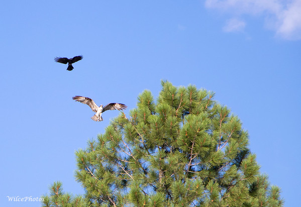 Raven Harrassing Osprey (Photo#4930)