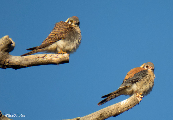 Kestrel Pair (Photo #9619)
