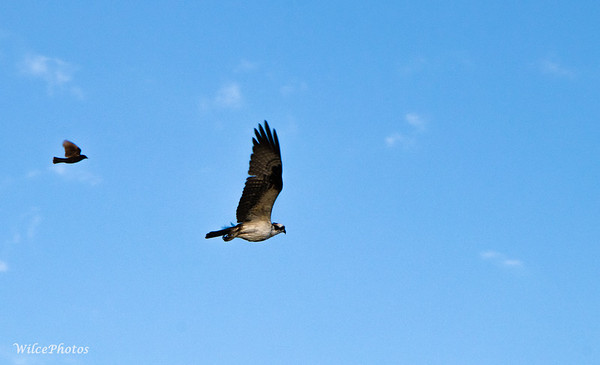 Osprey Chased By Blackbird (Photo#2033)