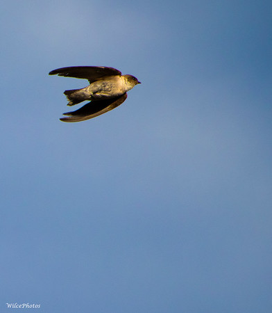 Swallow in Flight (#9167)