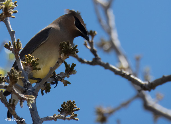 Cedar Waxwing (Photo #1679)