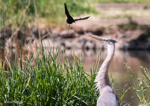 Red-Winged Blackbird Vs. Great Blue Heron; (Photo #9494)