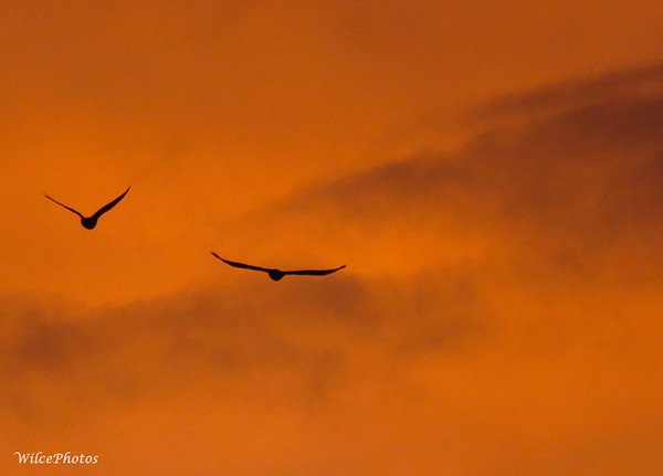Corvids At Dawn