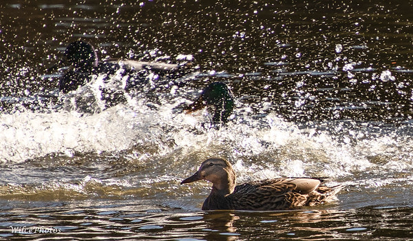 Mallards Splashed By Another (Photo #2368)