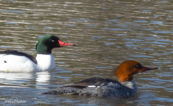 Pair of Common Mergansers