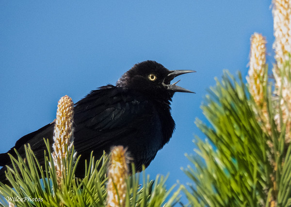 Male Brewer's Blackbird