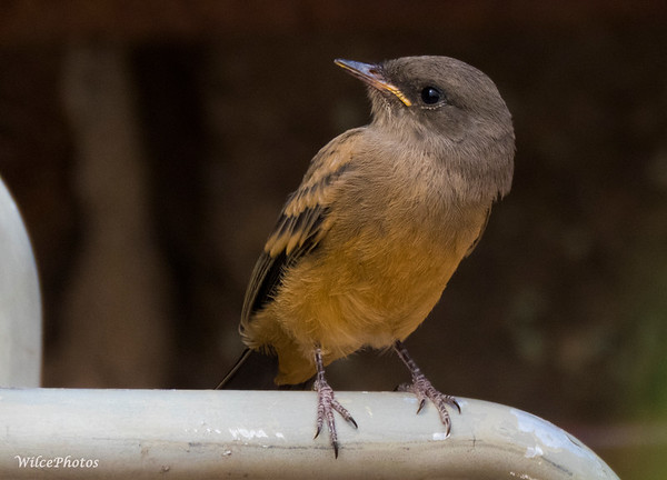 Say's Phoebe On Chair