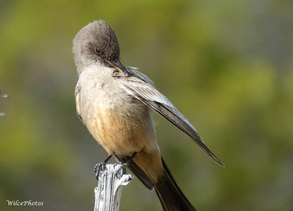 Say's Phoebe Preening (Photo #3891)