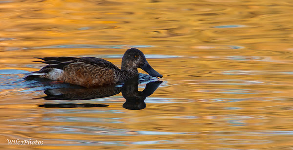 Northern Shoveler (Photo #1363)