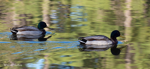 TwoMallardsSwimmingInReflection (Photo #P5118534)