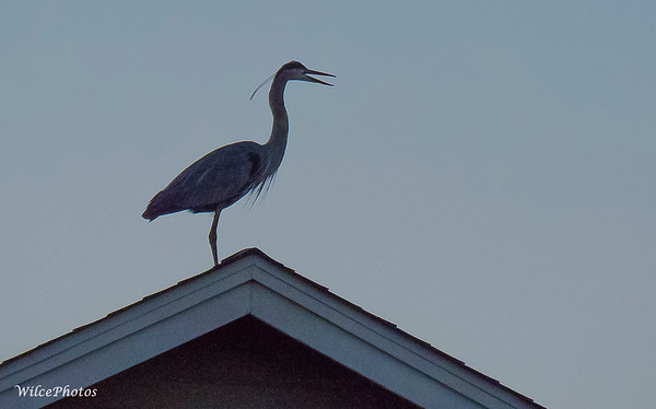 Great Blue Heron; (Photo #2312)