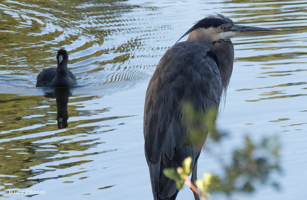 Coot And Great Blue Heron; (Photo #1127)
