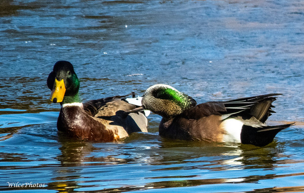 Wigeon And Mallard (Photo #0513)