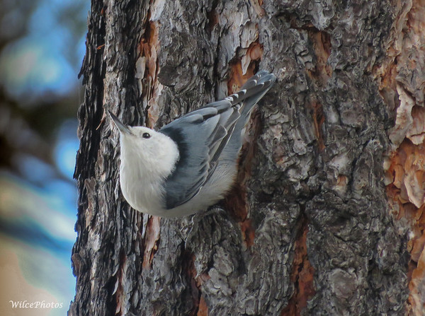 White-breasted Nuthatch;