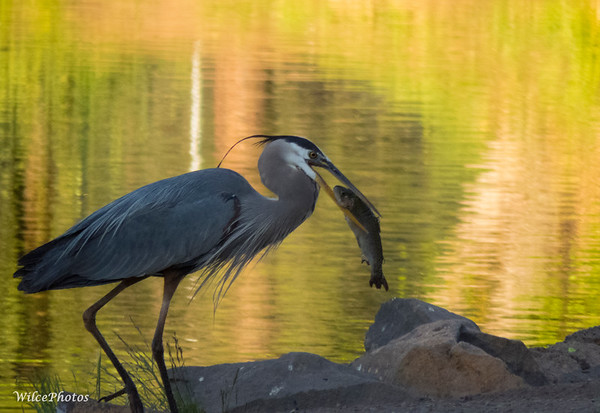 Heron Swallowing Trout