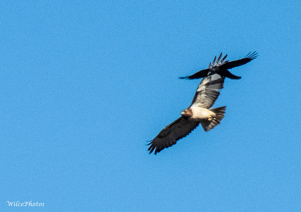 Corvid Chasing Hawk; (Photo #9893)