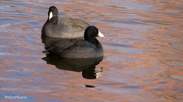 Coots (Photo #2047)