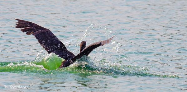 Double Crested Cormorant Landing; (Photo #P8160743)