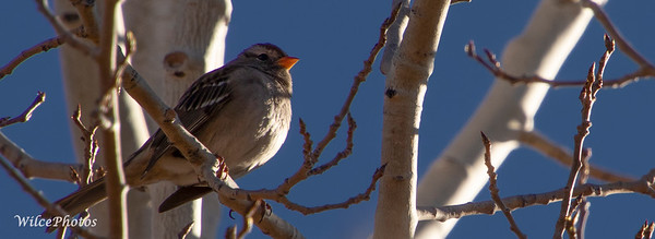Female White-Crowned Sparrow (Photo #1497)