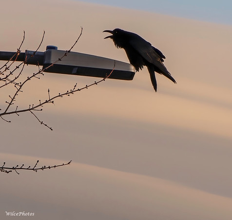 Raven Vocalizing (Photo #3596)