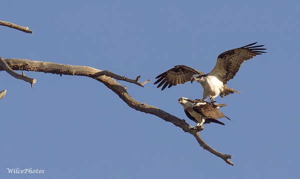 OspreysMating (Photo #P4145780)