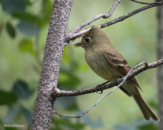 Flycatcher (Cordilleran?)