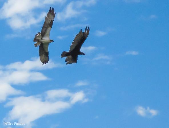 Osprey Chasing Vulture