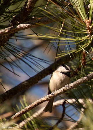 Chickadee On Pine; (Photo #4882)