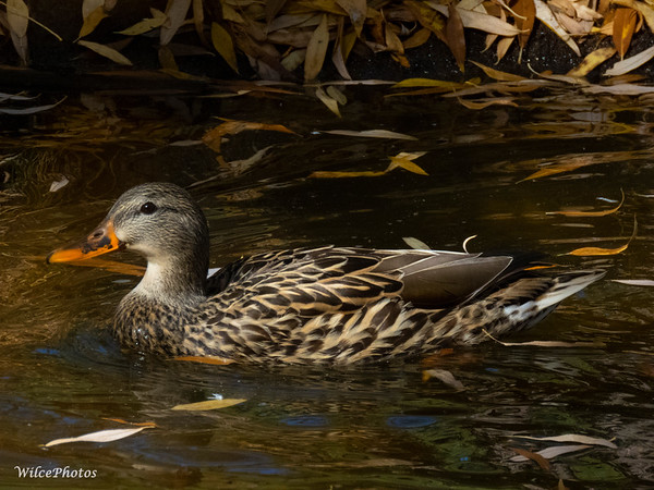 Female Mallard; (Photo #0730)