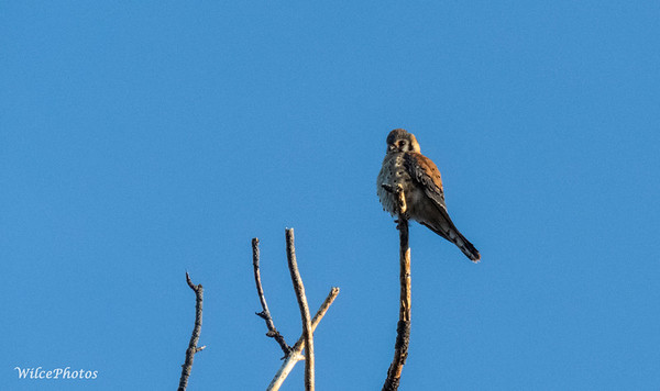 Kestrel Atop Snag (Photo #0020)