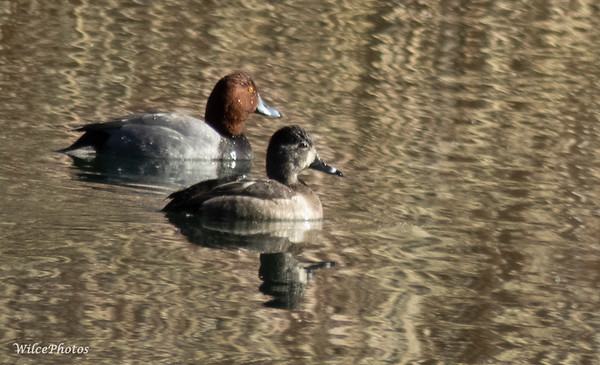 Two Redheads (Ducks); (Photo #8179)