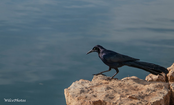 Boat-tailed Grackle (Photo #6267)