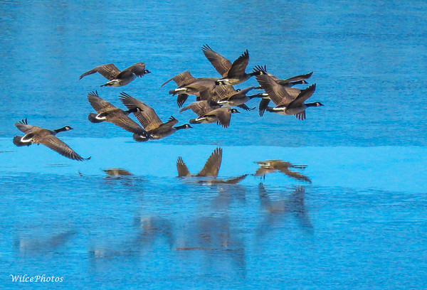 Geese Over Thawing Lake