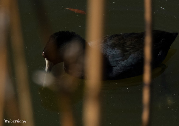 Coot (Photo #0704)