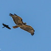 Blackbird and Red-Tailed Hawk