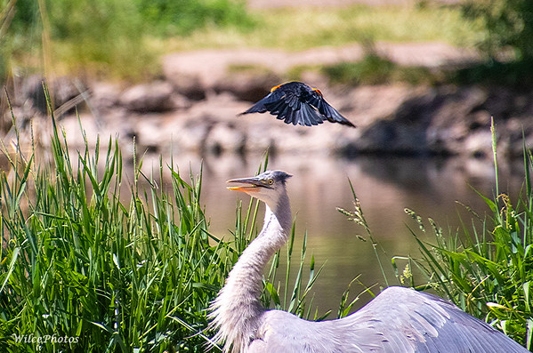 Red-Winged Blackbird Vs. Great Blue Heron; (Photo #9495)