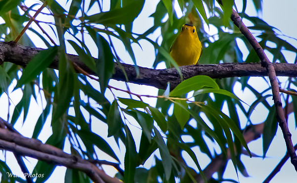 Wilson's Warbler (Photo# 4762)