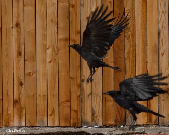 Two Corvids (Photo #1660)