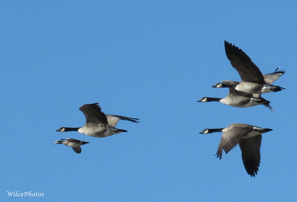 American Wigeon With Canada Geese