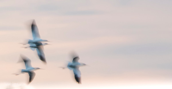 AvocetsBeneathBlueSky; (Photo #3024)