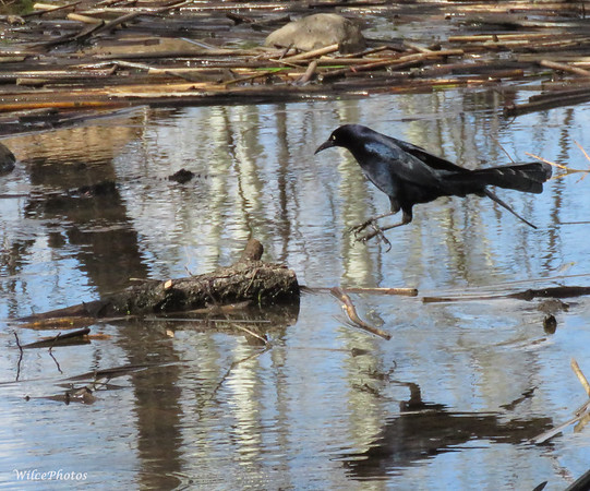 Great-tailed grackle?