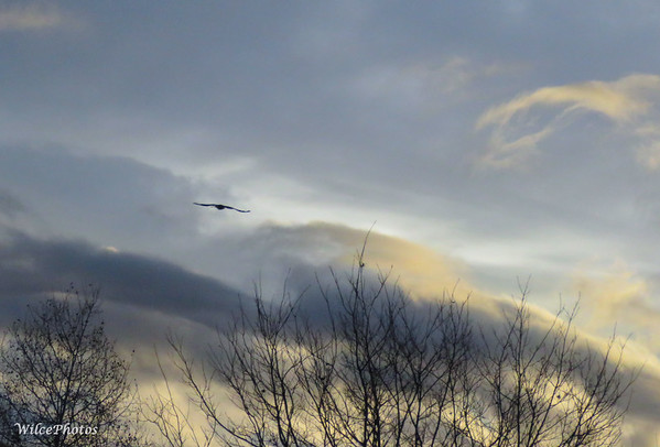 Corvid On Cloudy Morning